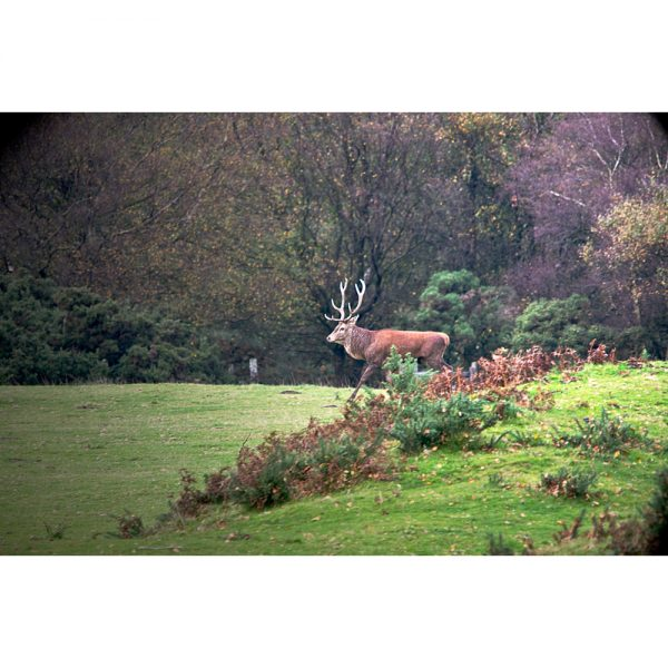 Enter The Stag photo on Exmoor during the rutting season antlers