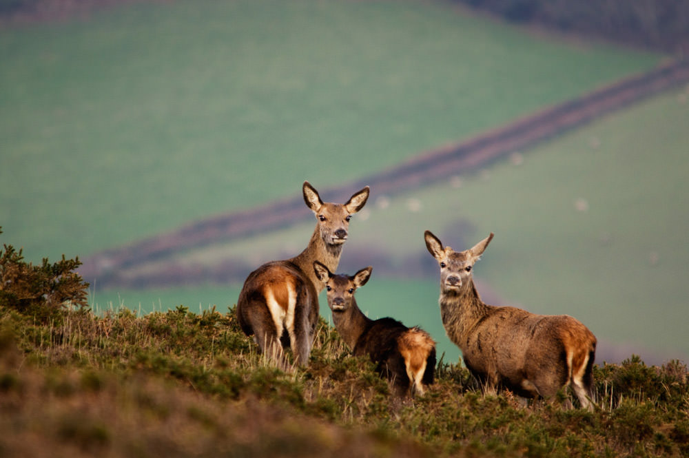 Come With Us To Exmoor - I just love the grouping of the red deer in this photo, it could not have been better posed
