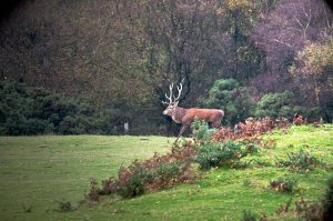 Enter The Stag - stag is protecting a large herd of deer during rutting