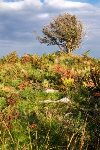 An Exmoor tree Facing The Wind