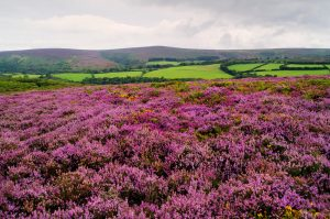 Exmoor in Summer with Heather On Dunkery Beacon