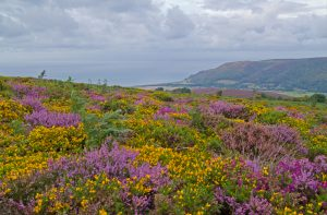 The Colour Of My Heart - summer gorse and heather above Porlock