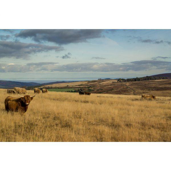 Highland Cattle On Exmoor
