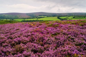 Heather On Dunkery Beacon landscape photograph on Exmoor